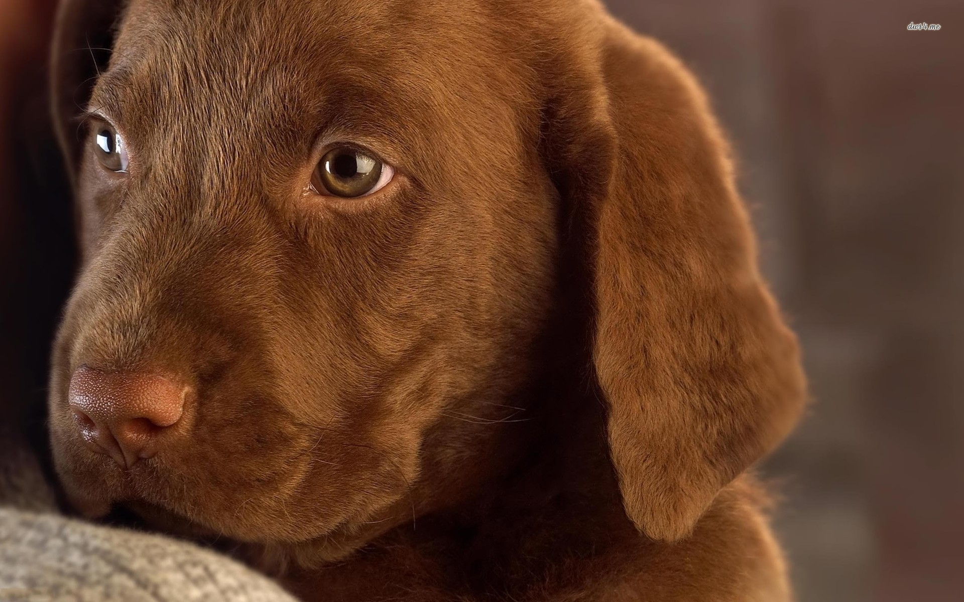Chocolate labrador puppy wallpaper   Animal wallpapers   15945 1920x1200