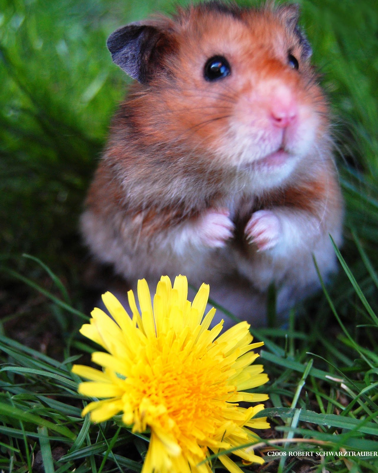 View cute hamster and sun flower wallpaper Download cute hamster and 1280x1600