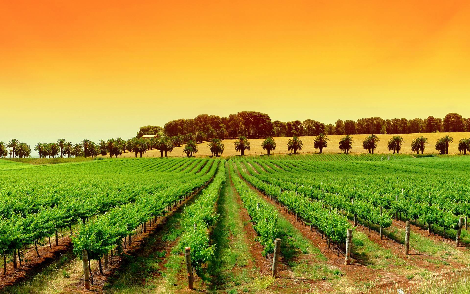 Vineyard Wallpapers 1920x1200
