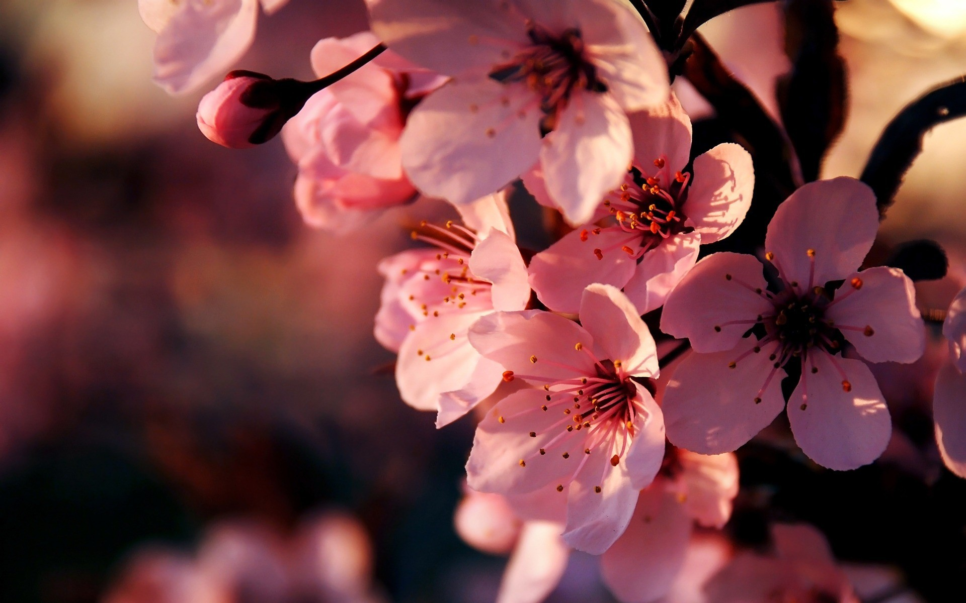 Pink Flowers Wallpaper Backgrounds 4728 Cool