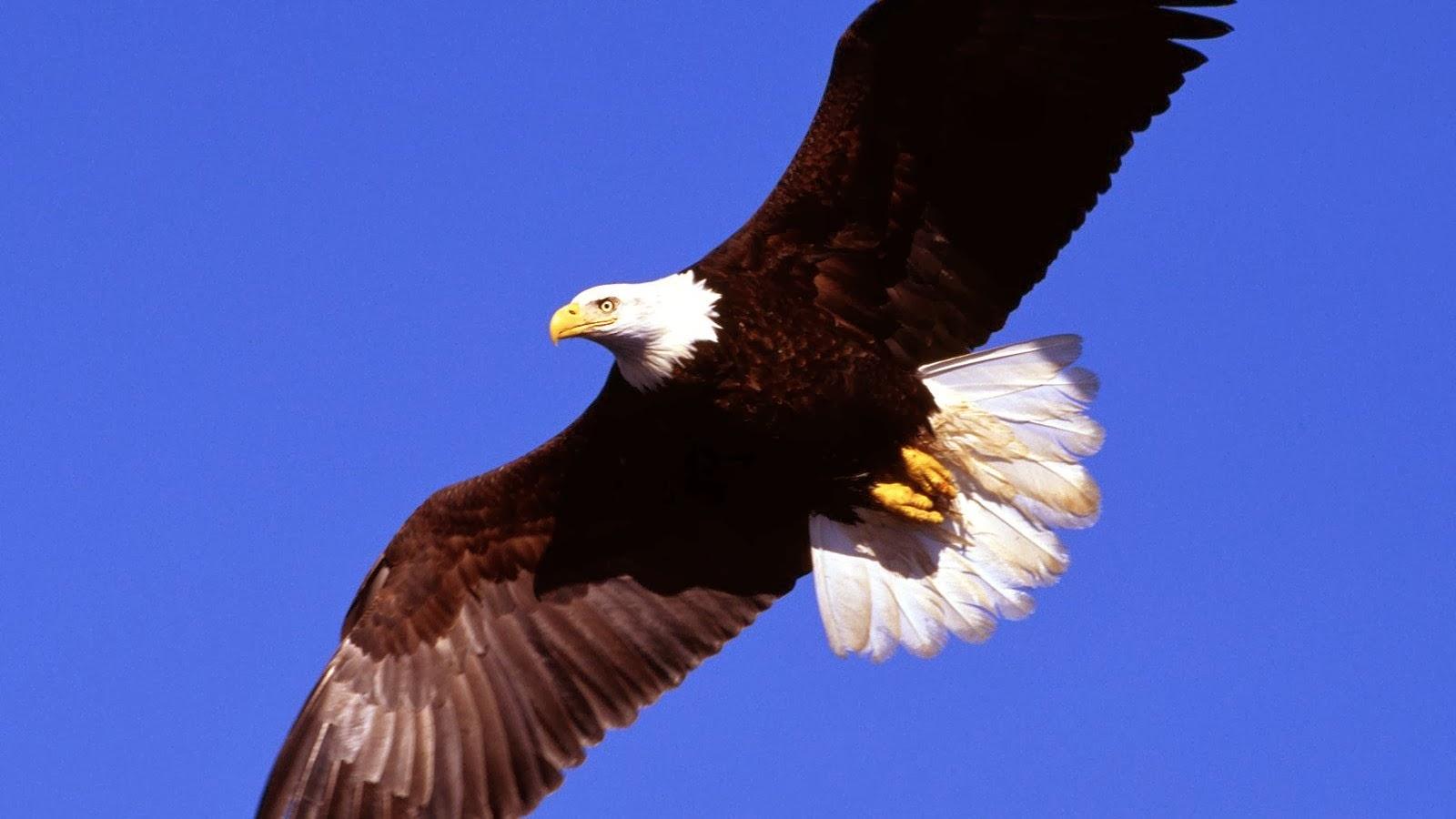 flag and eagle wallpaper free wallpapersafari