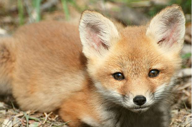 Cute Baby Fox Wallpaper - WallpaperSafari