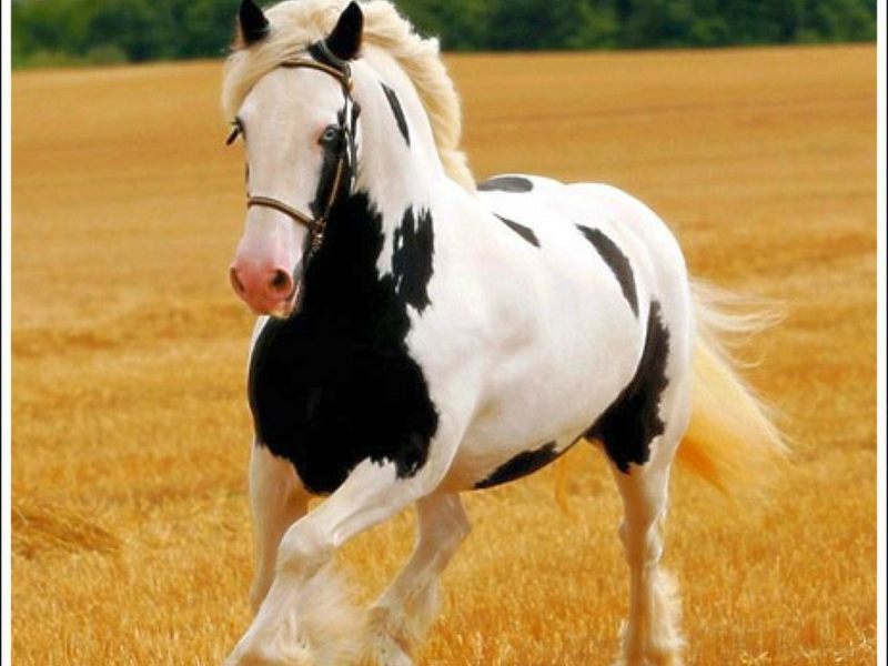 preview Black And White Horse Wallpaper Download 800x600