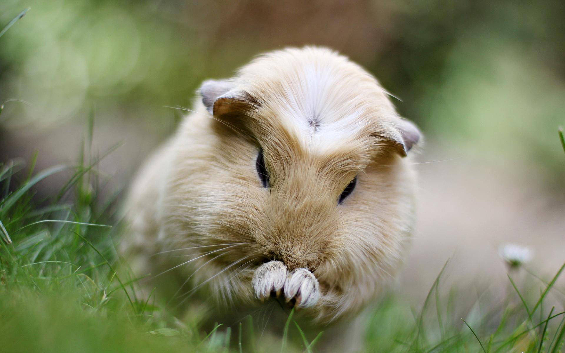 Download Guinea Pig Cute Wallpapers in HD Gallery 1920x1200