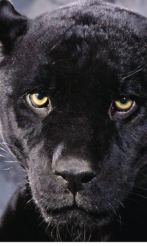 It was very hard to find few quality black panther pictures which can 480x800
