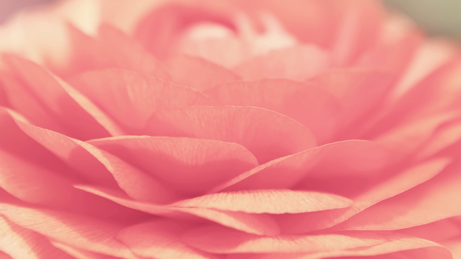 1920x1080 Pink Rose desktop PC and Mac wallpaper 1920x1080