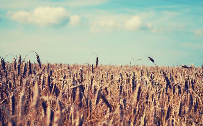 High resolution desktop wallpaper of wheat wallpaper of corn field 690x431