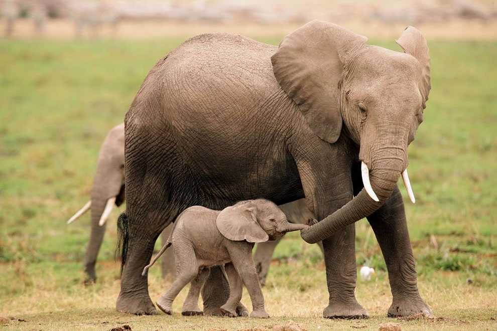 25 Cute Baby Elephant Pictures 990x660