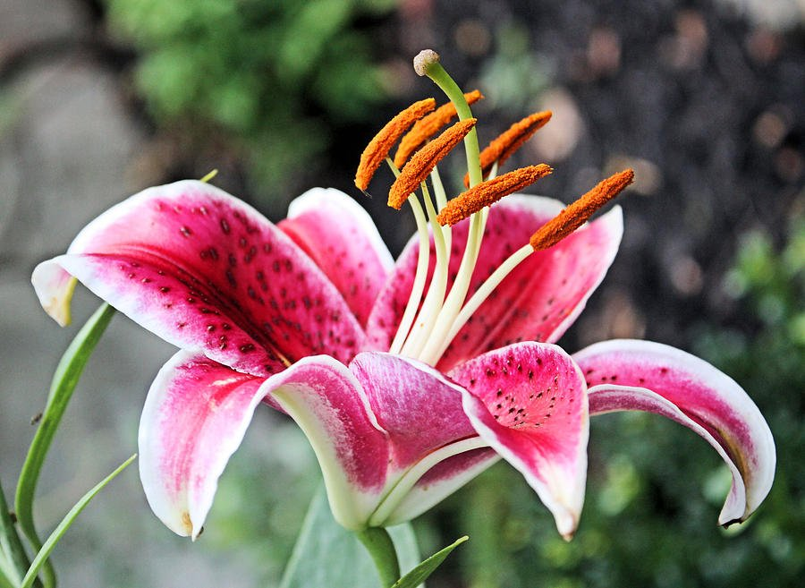 stargazer lily wallpaper  wallpapersafari, Beautiful flower