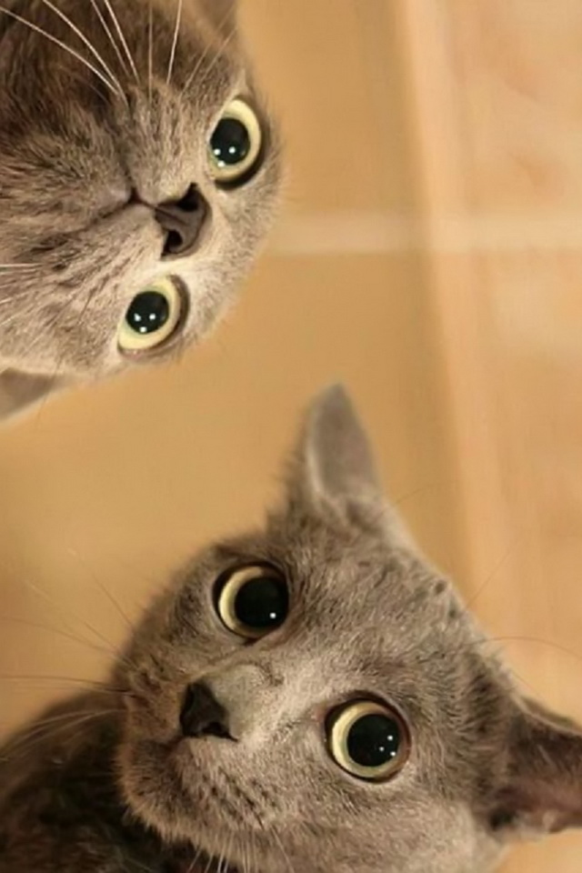 iPhone background Crazy Cats from category funny and comedy wallpapers 640x960