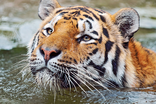 BEST WALLPAPERS Amazing Cute tiger wallpapers collections 500x332