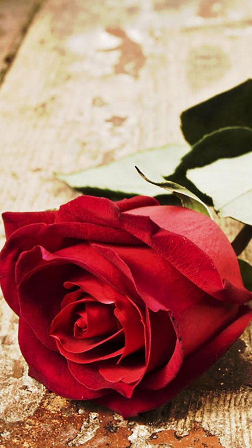 Roses Live Wallpaper   Android Apps and Tests   AndroidPIT 506x900