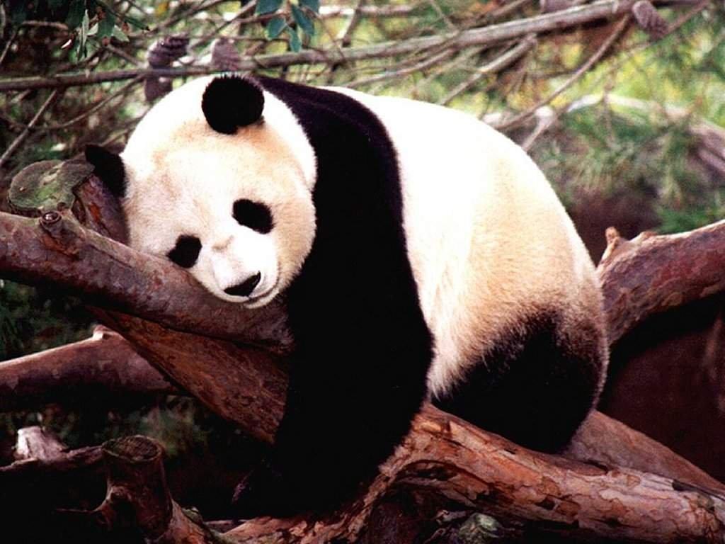 Funny cute panda wallpaper Funny Animal 1024x768