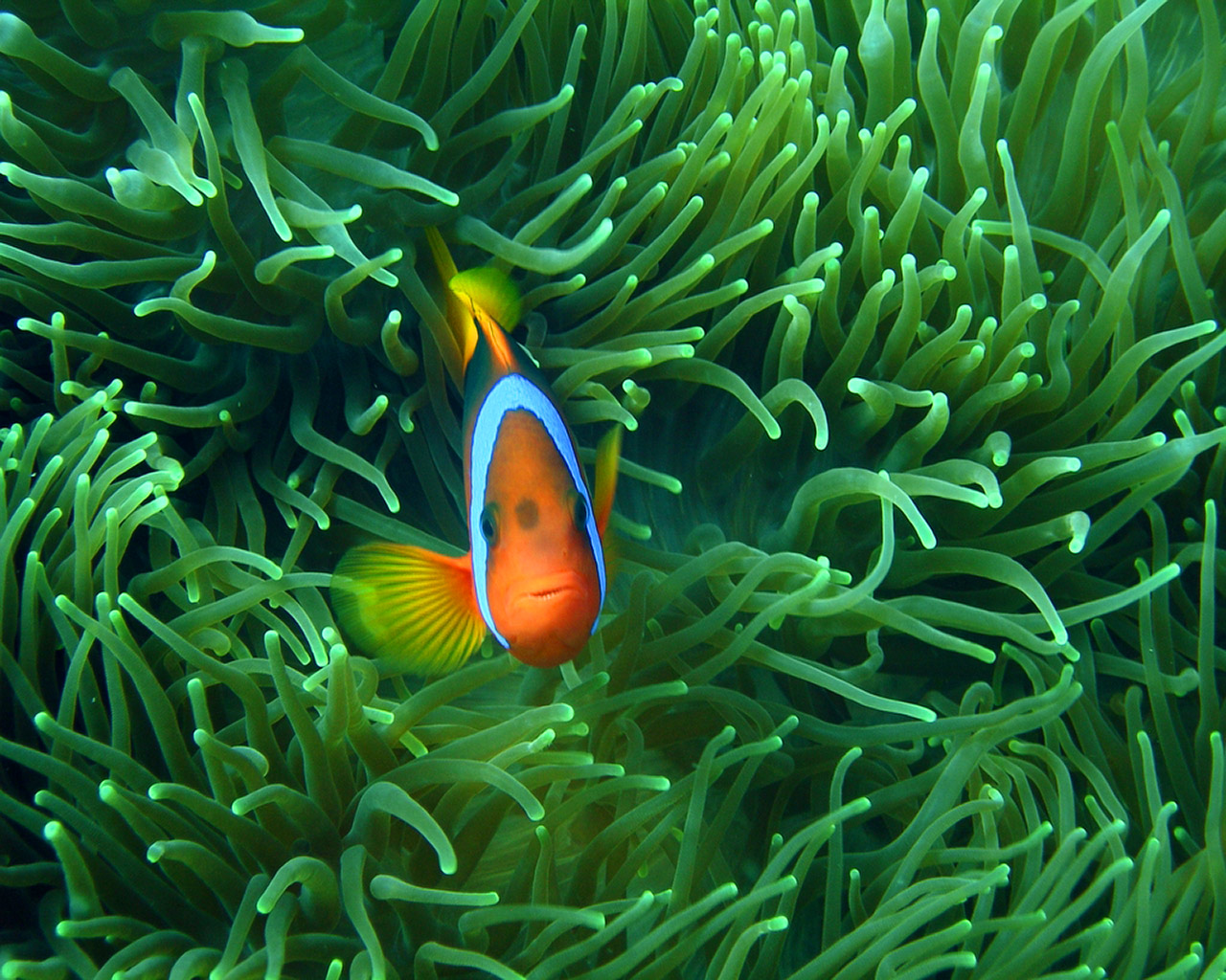 Computers Clown Fish Fish Clown Desktop Fishes Wallpaper Hd 1280x1024