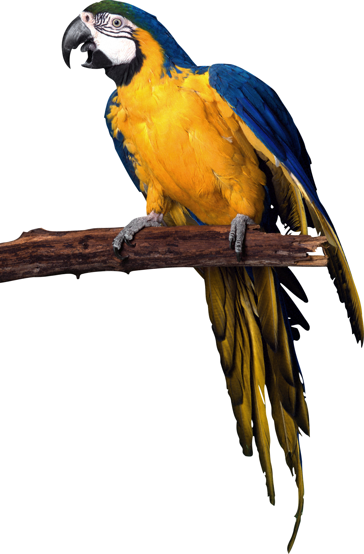 download  Parrot PNG transparent images transparent backgrounds 1405x2134