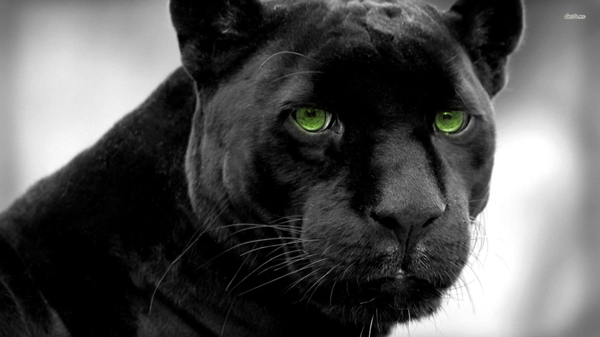 black panther wallpapers 15480 black panther 1920x1080 animal 1920x1080