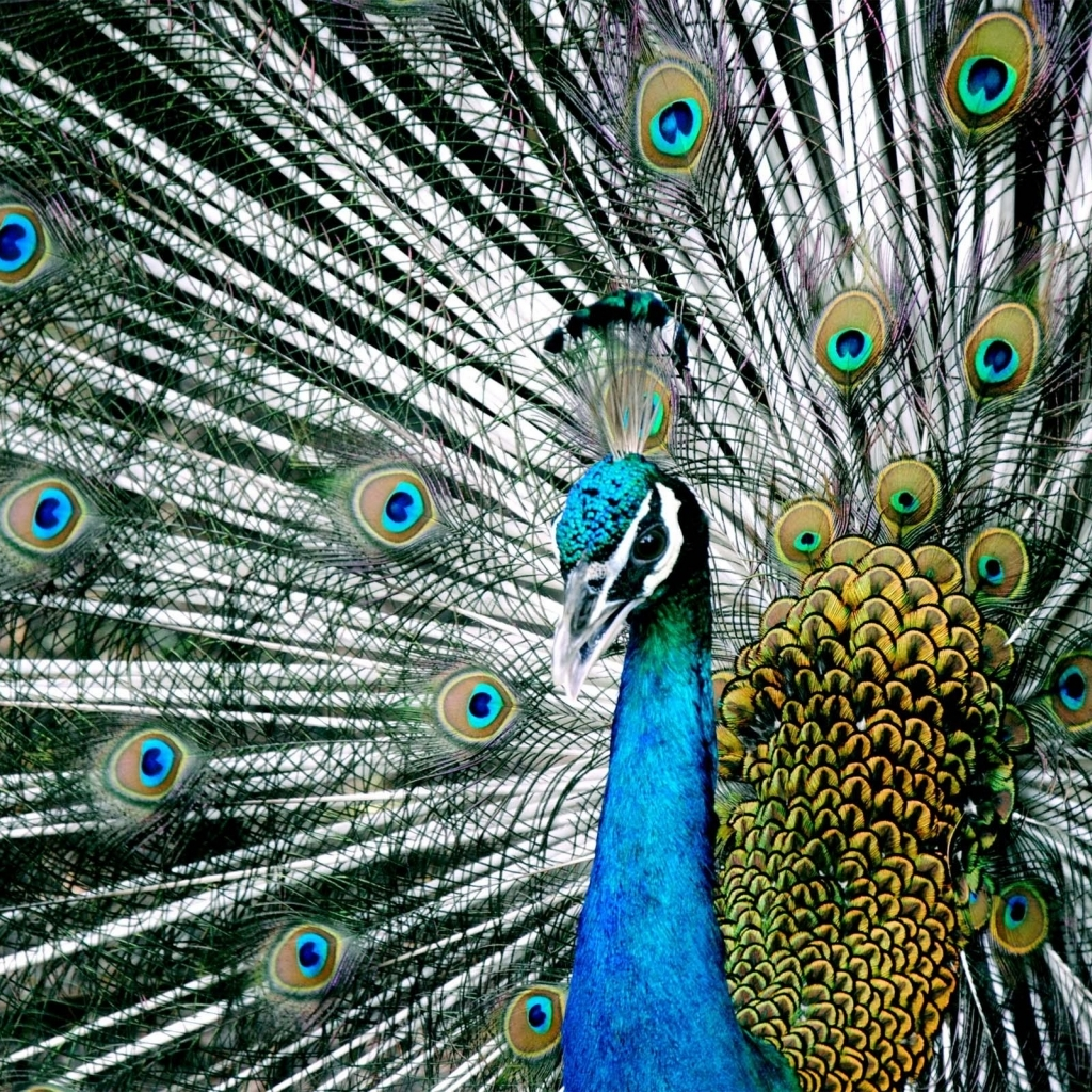 download majestic blue indian peacock wallpaper in animals wallpapers 1024x1024