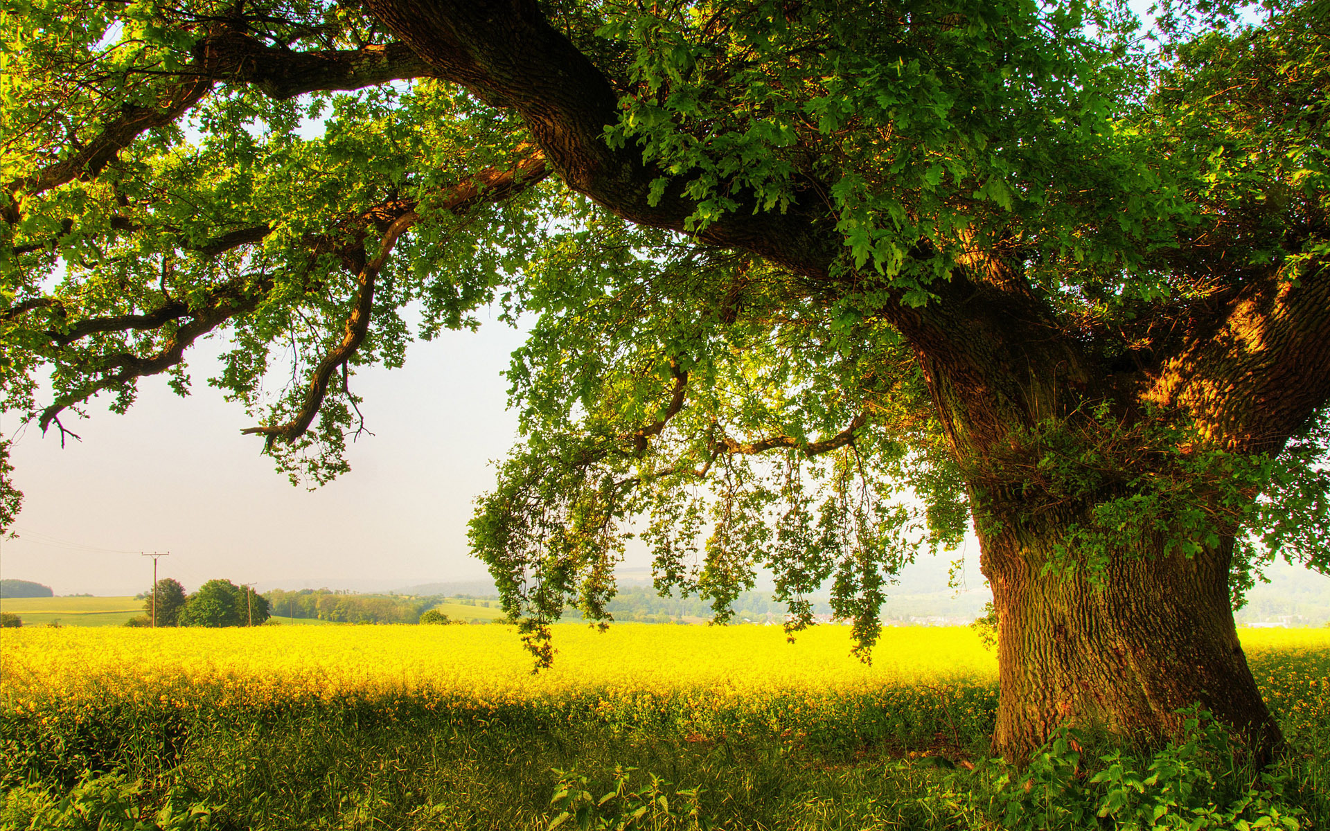 Oak tree Wallpaper 9606 1920x1200