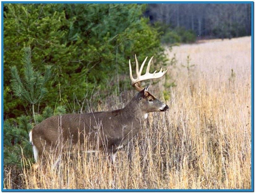 Whitetail deer screensavers   Download 823x623