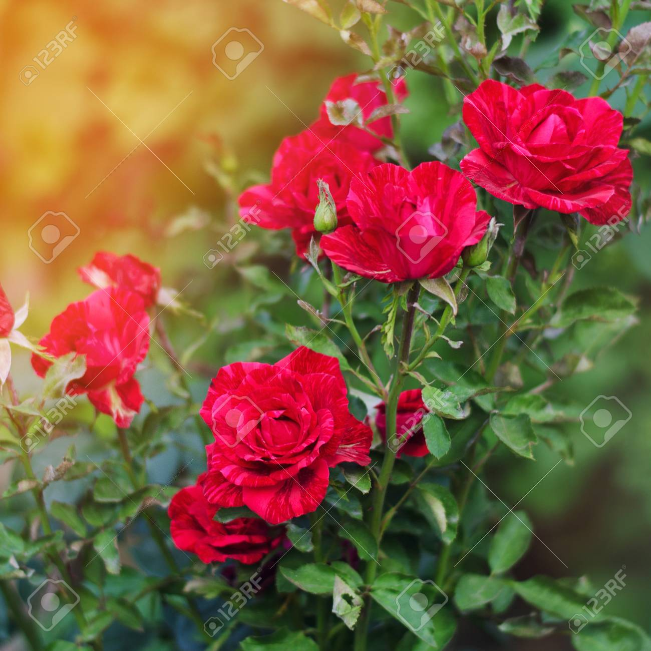 Beautiful Red Roses In The Garden Nature Wallpaper Flowers 1300x1300