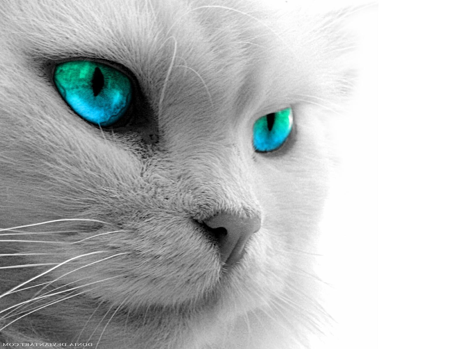 Blue Cat With Red Eyes