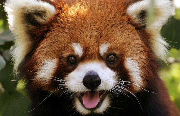 Animal Red Panda Wallpaper HD Wallpaper WallpaperMinecom 620x400