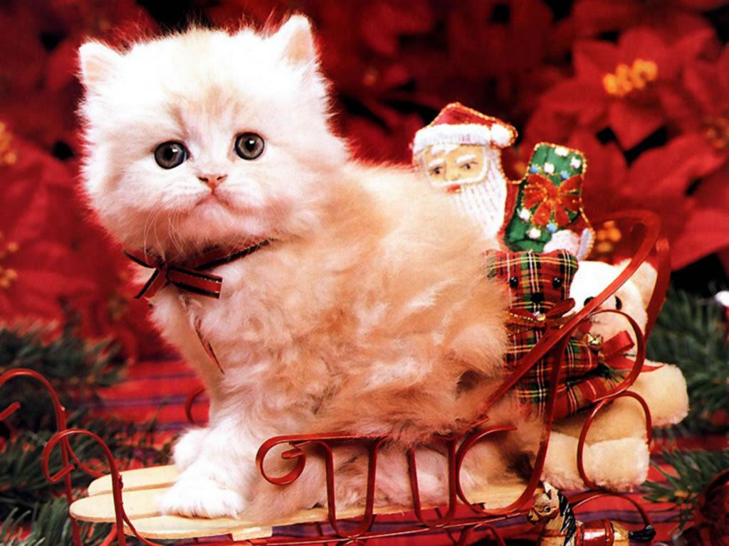 Christmas Kitten   Christmas Wallpaper 2736116 1024x768
