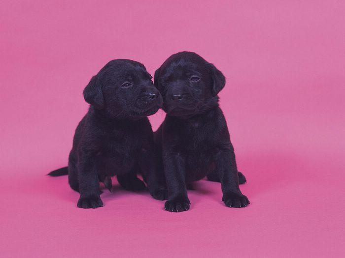 Wonderful Lab Black Adorable Dog - 7UcV80  Pictures_106224  .jpg