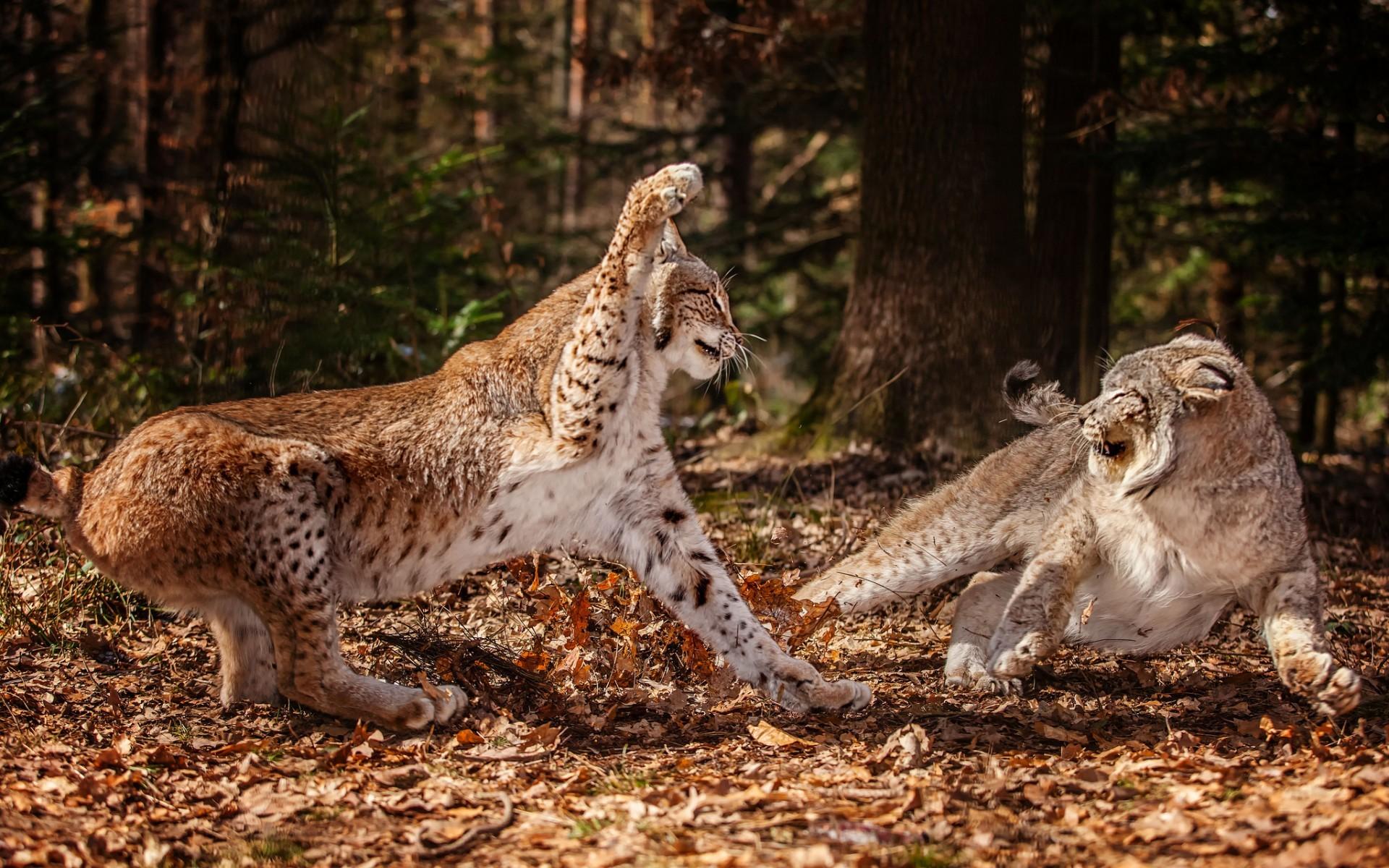 lynx forest jungle animal - photo #32