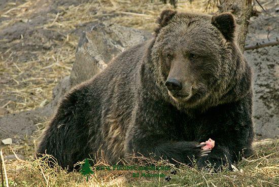 Pin Grizzly Bear Zoo Wallpaper 2560x1600jpg 550x369