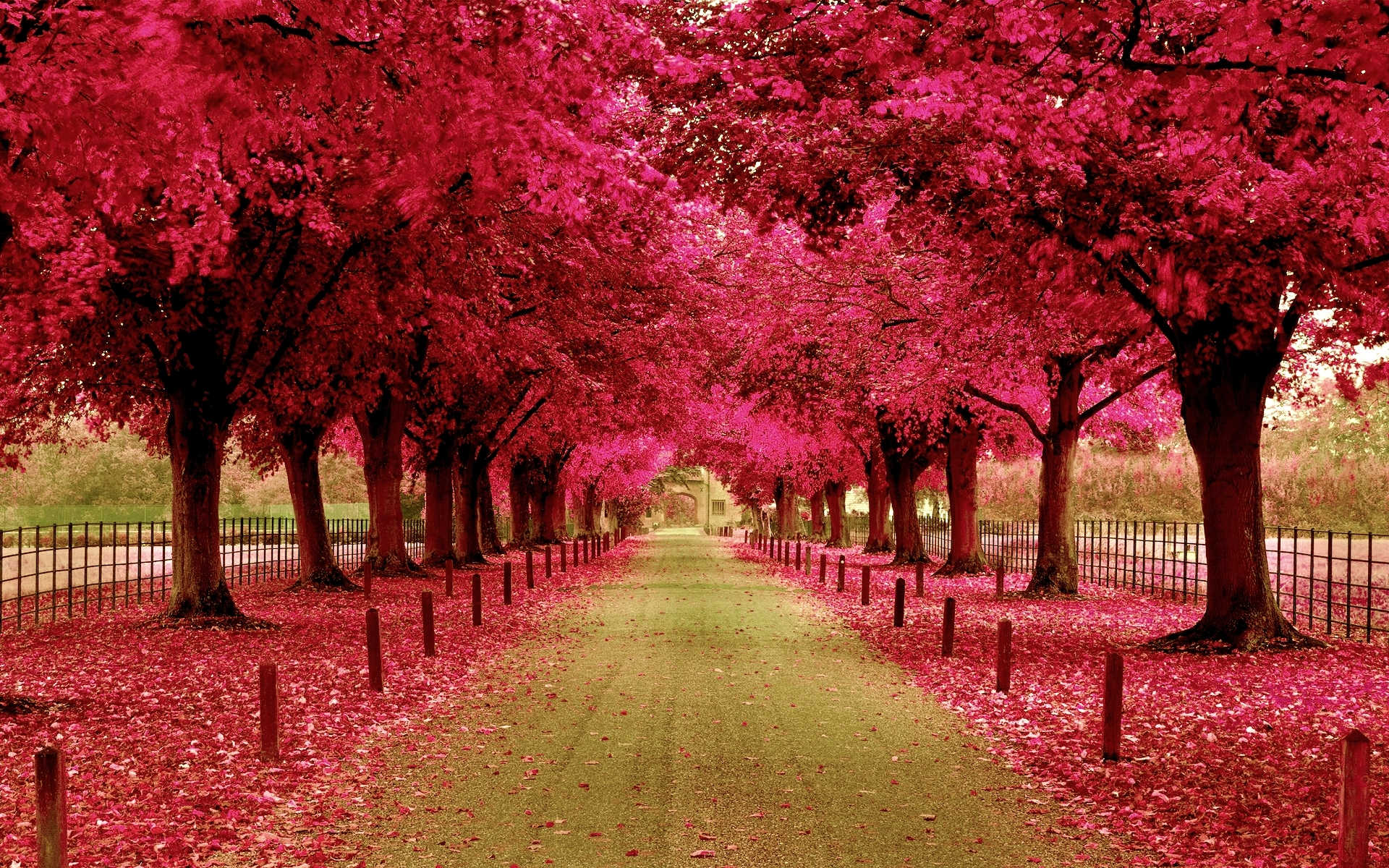 Pink Trees Walkway HD Wallpaper 1920x1200