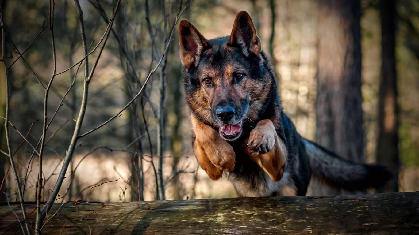 Police K9 Wallpaper German shepherd dog running 1366x768