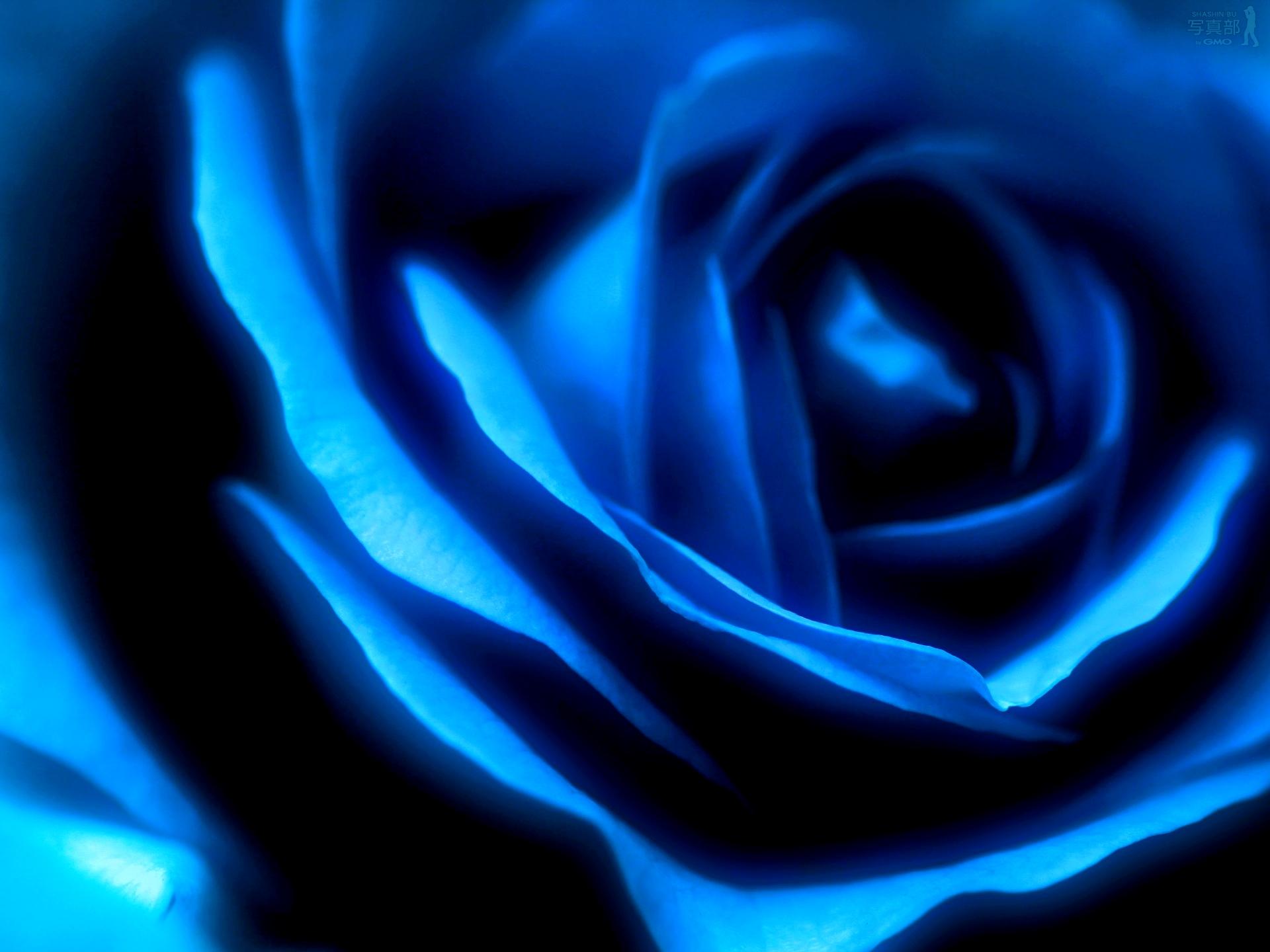 1920x1440px free blue rose wallpaper - wallpapersafari