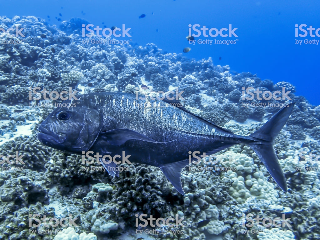 Large Black Ulua Fish Over Reef Close Up Stock Photo   Download 1024x768