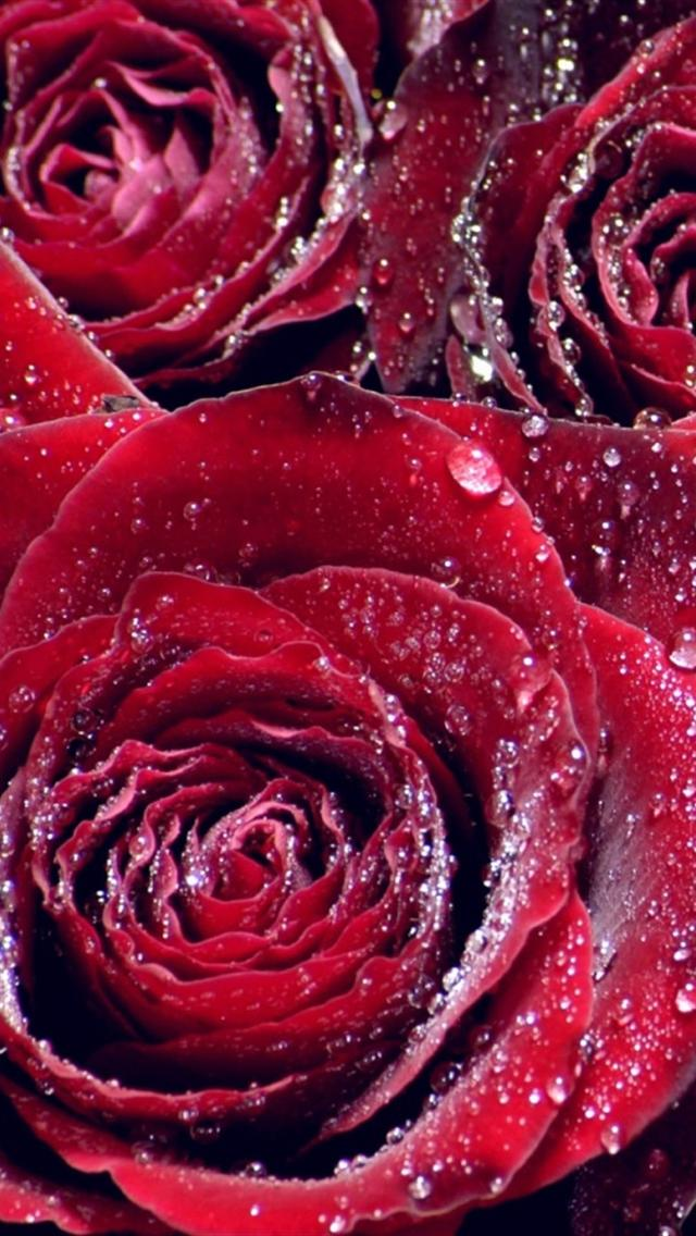 iphone 5 wallpapers hd sweet red roses iphone 5 wallpapers hd 640x1136