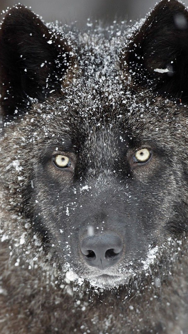 Wolf iPhone 5s Wallpaper Download iPhone Wallpapers iPad wallpapers 640x1136