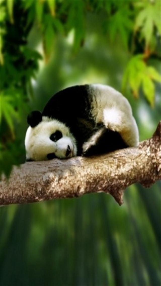 Panda Animal iPhone Wallpapers iPhone 5s4s3G Wallpapers 640x1136