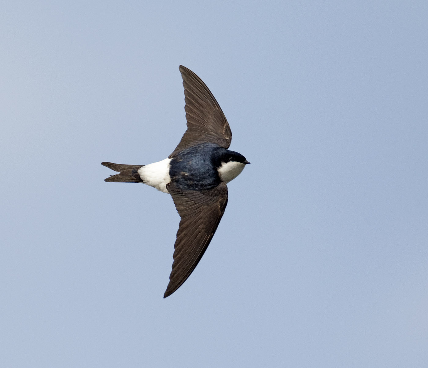 House Martin Bird Wallpaper Full Desktop Backgrounds 1400x1205