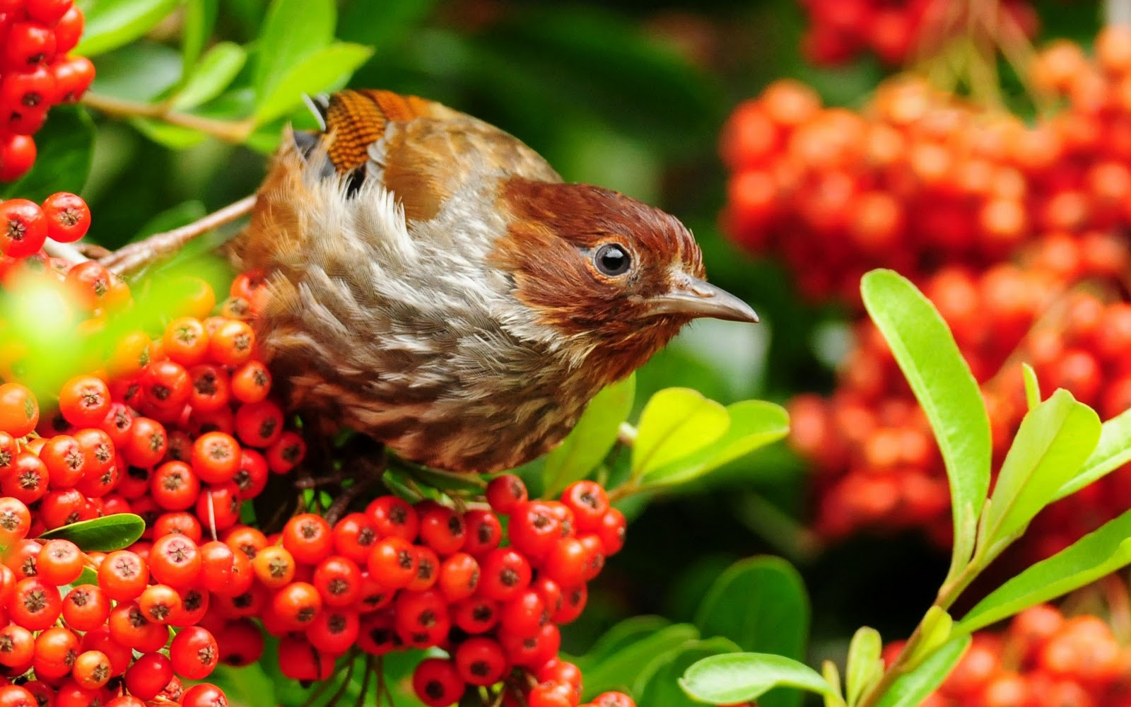 tweety bird wallpaper desktop backgrounds birds and butterflies 1600x1000