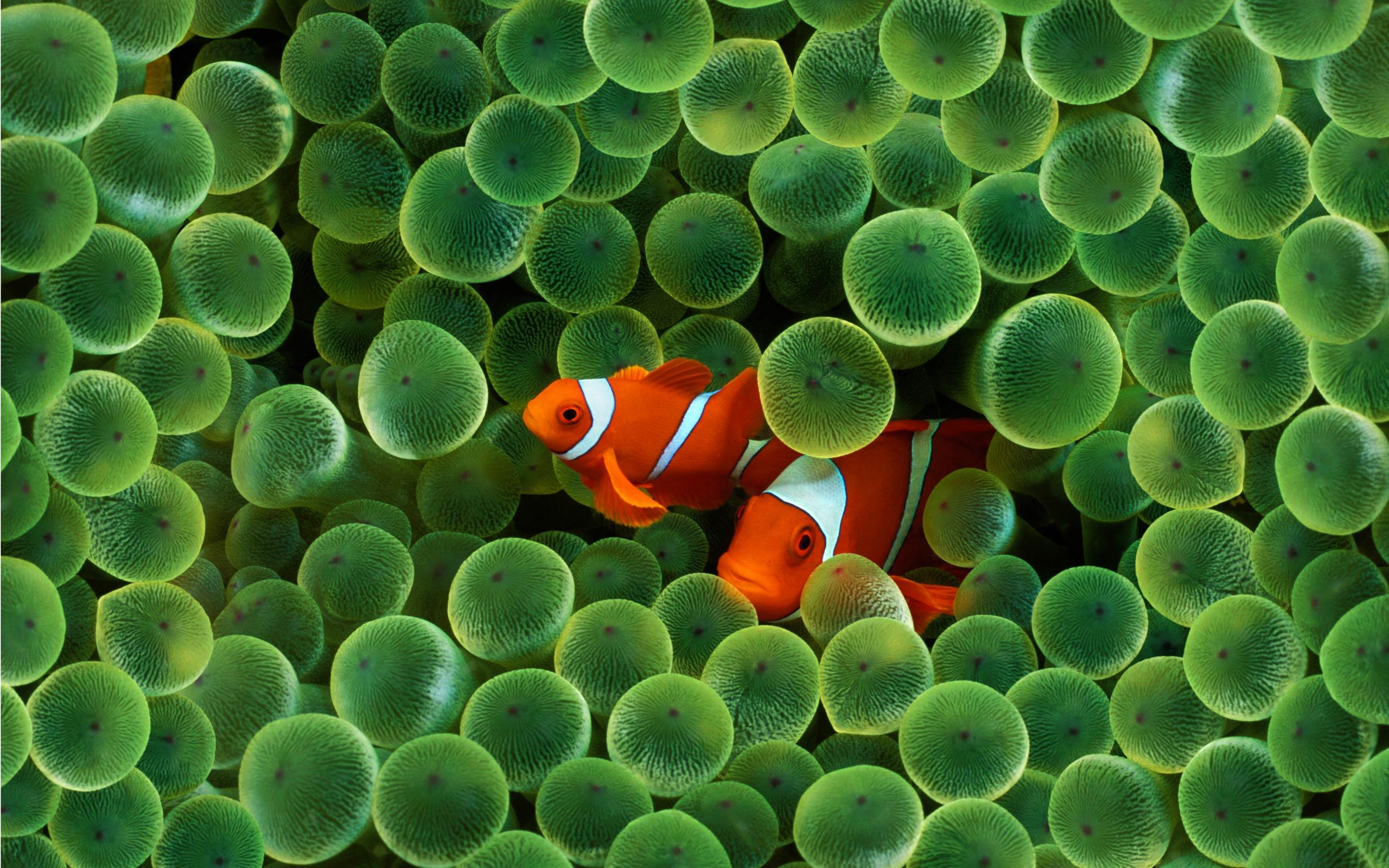 2560 x 1600 Wide Wallpapers Photos Desktop Wallpaper wp Clown Fish 2560x1600