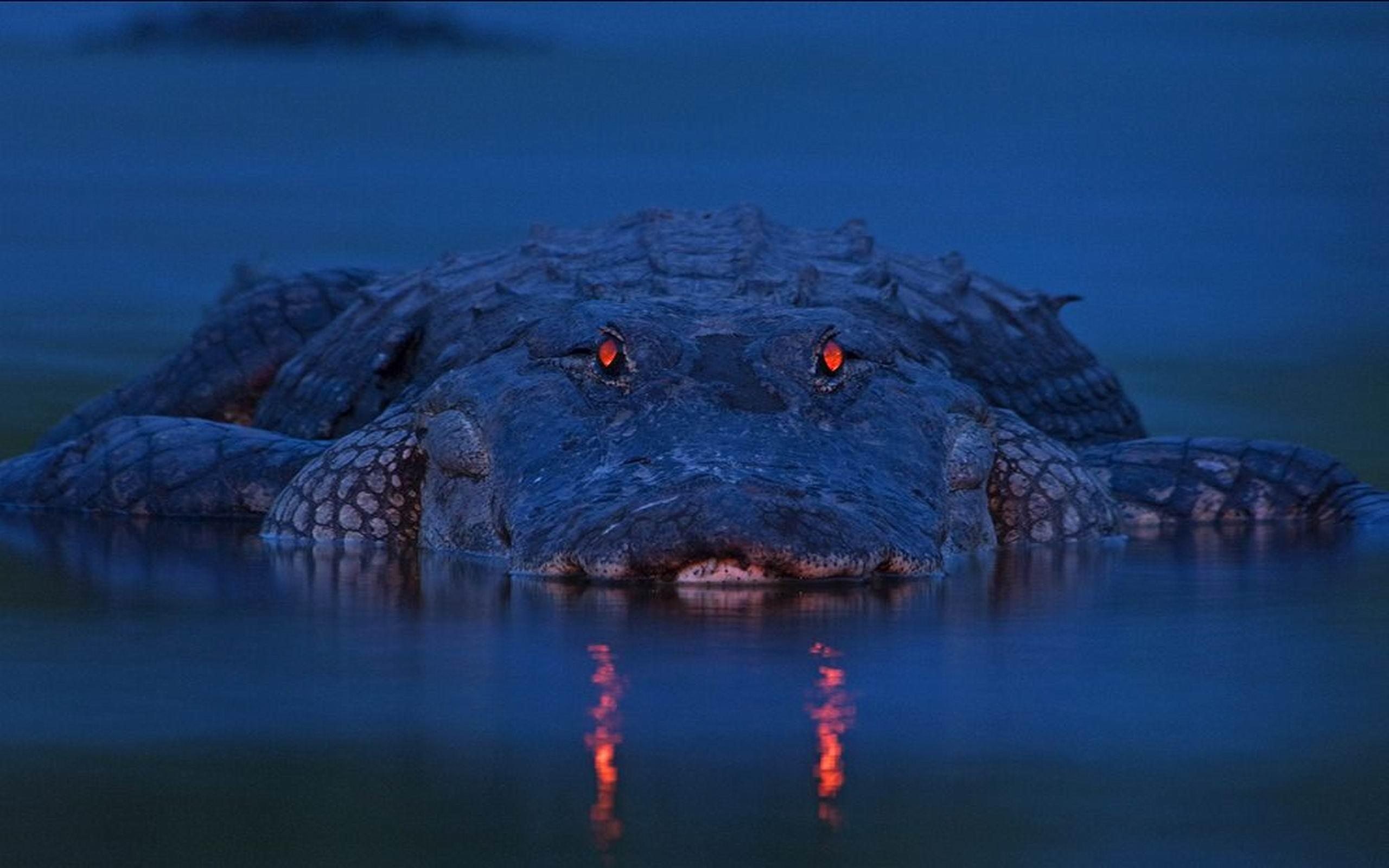 Alligator Wallpapers and Background Images   stmednet 2560x1600