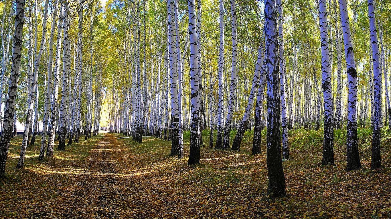 white birch tree wallpaper