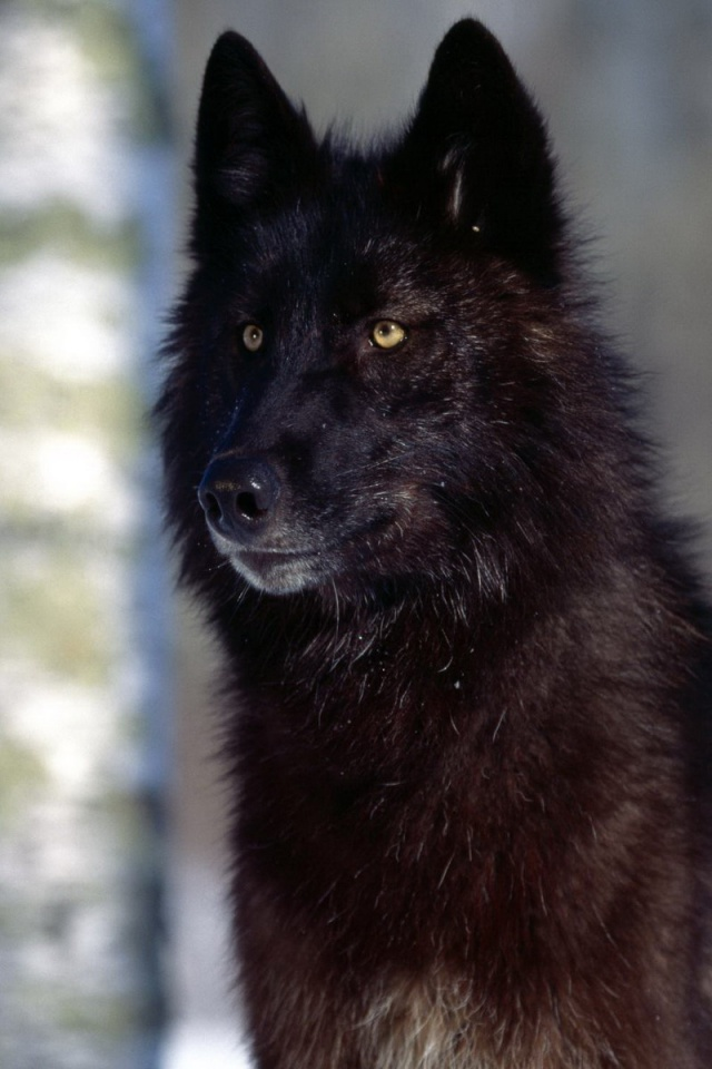 640x960 Black Wolf Iphone 4 wallpaper 640x960