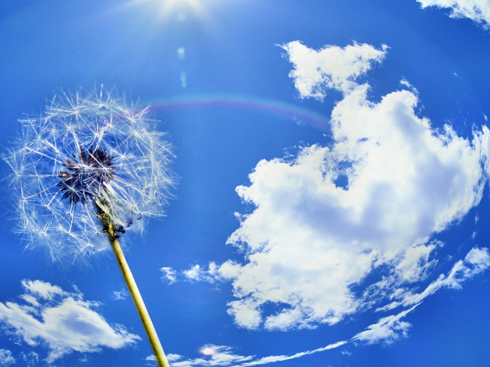 ... Backgrounds Windows 7 Dandelion Wallpaper and make this wallpaper for