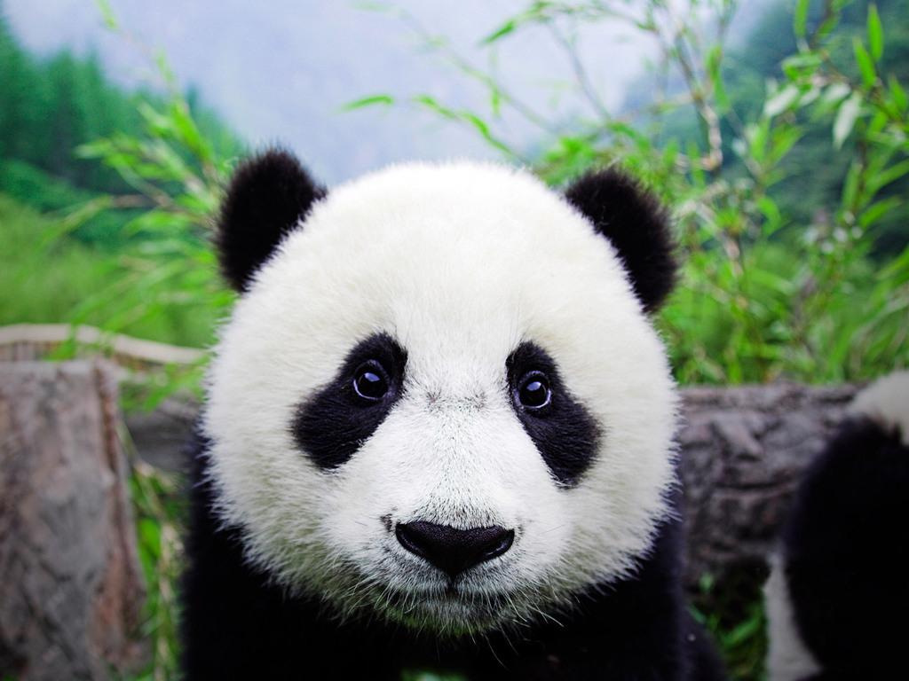 Baby Panda Wallpapers giant panda mother and cub molong new 1024x768