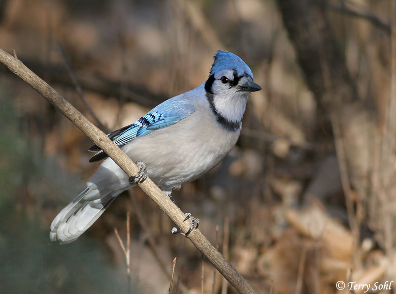 Wallpapers Blog blue jay background 780x579