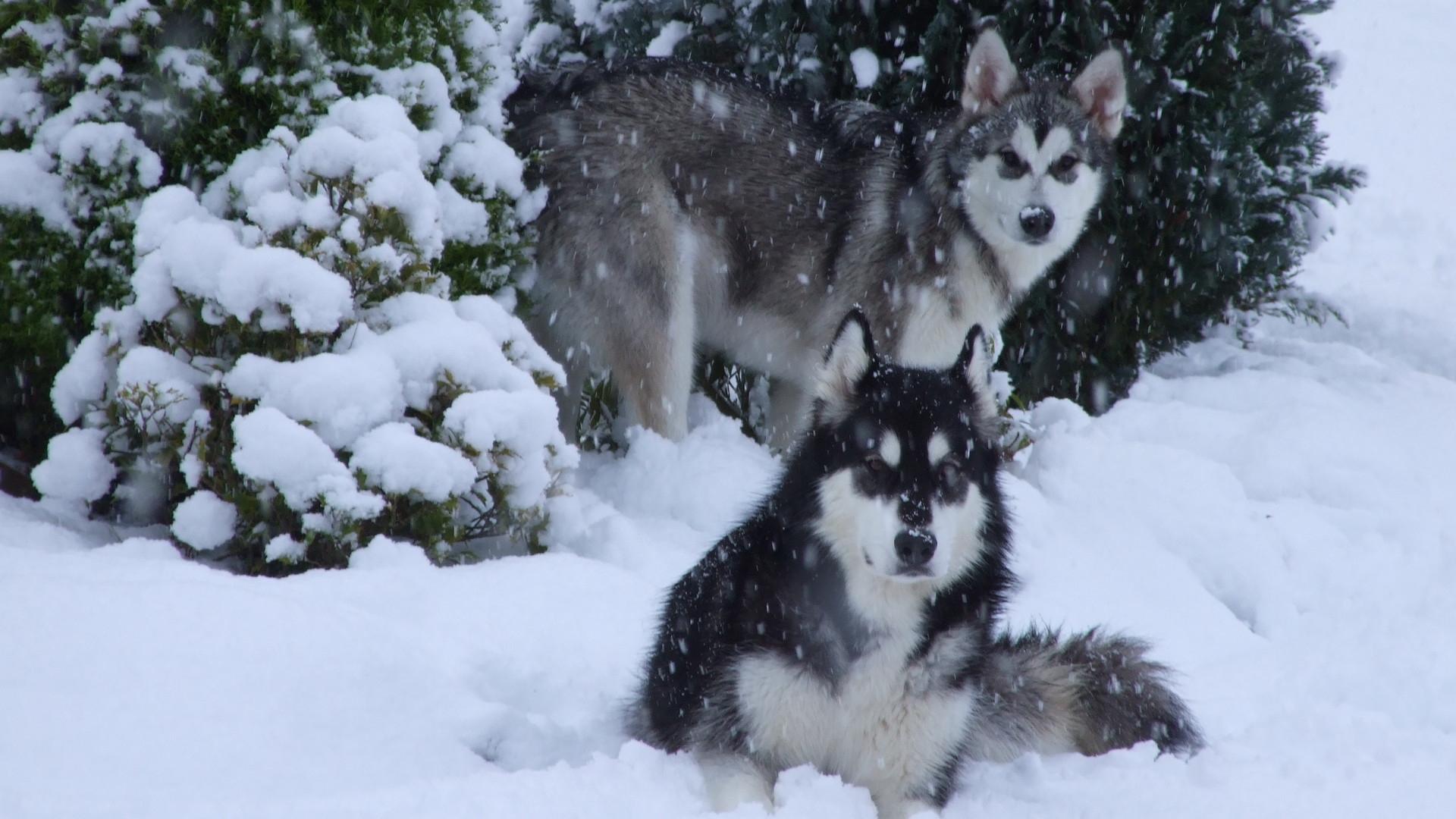 White Siberian Husky Puppies Christmas Husky Wallpa...