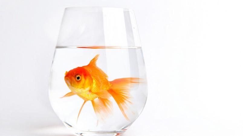 4k hd amazing goldfish - photo #7