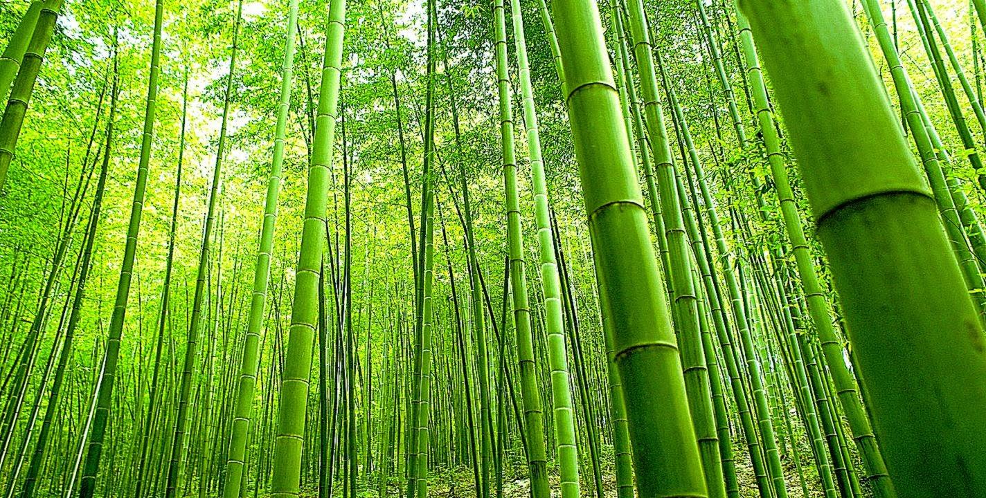 bamboo desktop wallpaper wallpapersafari