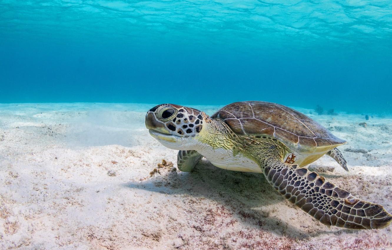 Wallpaper sea water background turtle underwater world sea 1332x850